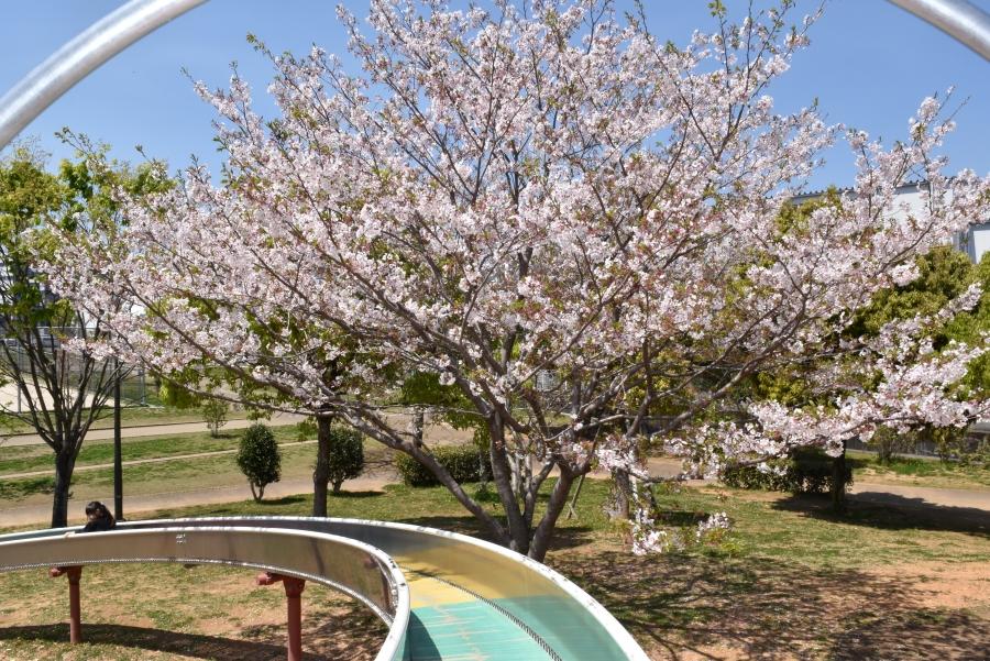 春には桜の下をすべります