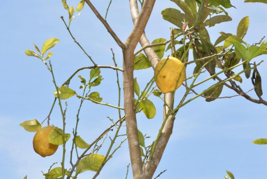 レモンの木があります