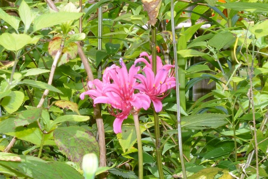 夏に咲くリコリス。ヒガンバナの仲間です