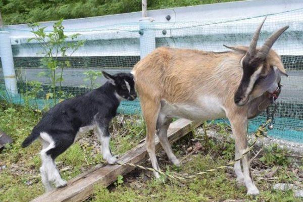 子ヤギに名前を 四万十町のネイチャーセンターが5月31日まで募集