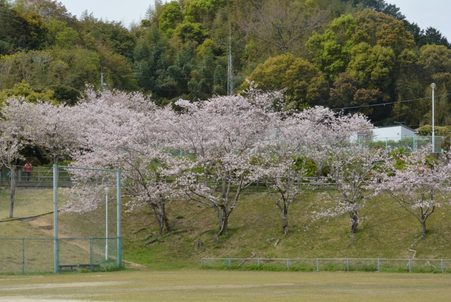グラウンドから見た桜