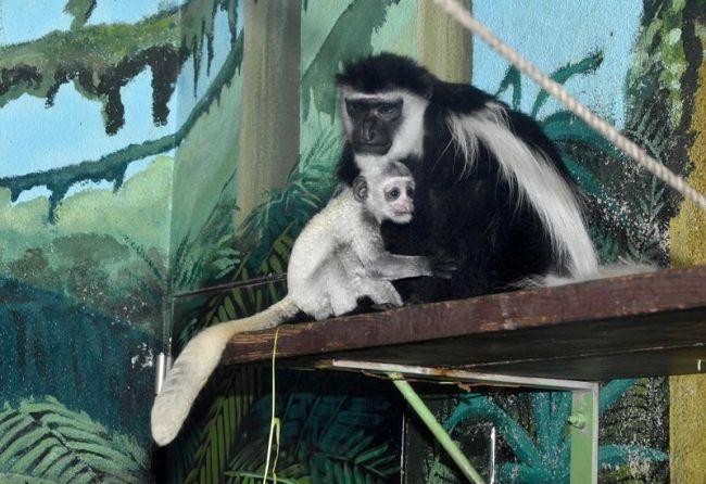 母親にしがみつくアビシニアコロブスの赤ちゃん。つぶらな瞳が愛らしい(わんぱーくこうちアニマルランド)