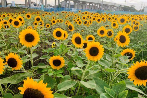 香南市で「かがみ花フェスタ 」|ヒマワリとクレオメ約7万本が咲き誇る