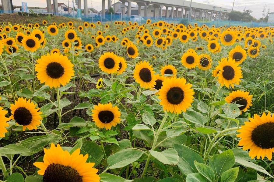 4万本のヒマワリを見に行こう 香南市で「かがみ花フェスタ ひまわりまつり」