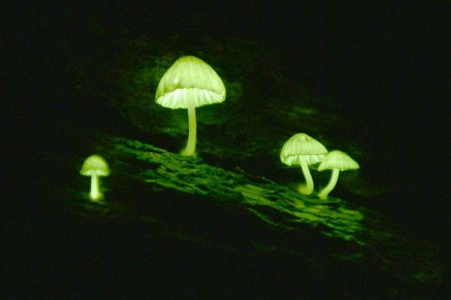 暗闇の中で幻想的な光を放つシイノトモシビダケ(越知町の横倉山、長時間露光で撮影)