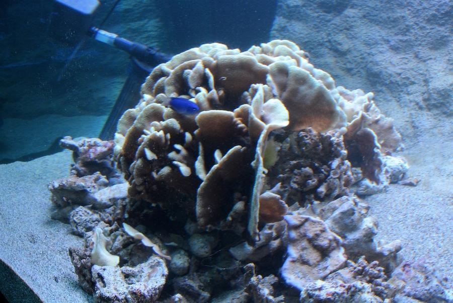 天然記念物のシコロサンゴ