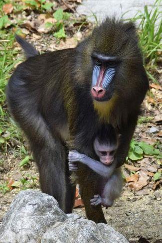 母のマンゴーに大切に育てられるマンドリルの赤ちゃん(香南市の県立のいち動物公園)