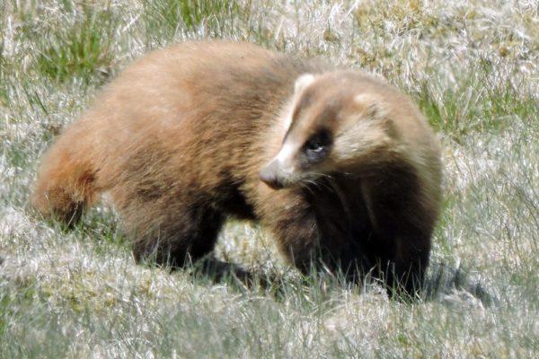 アナグマやキツネなどについて学ぼう|カルスト学習館で「アナグマ観察と動物Q&A」
