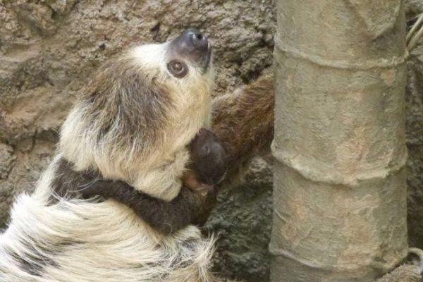 のいち動物公園でナマケモノの赤ちゃんが生まれました!