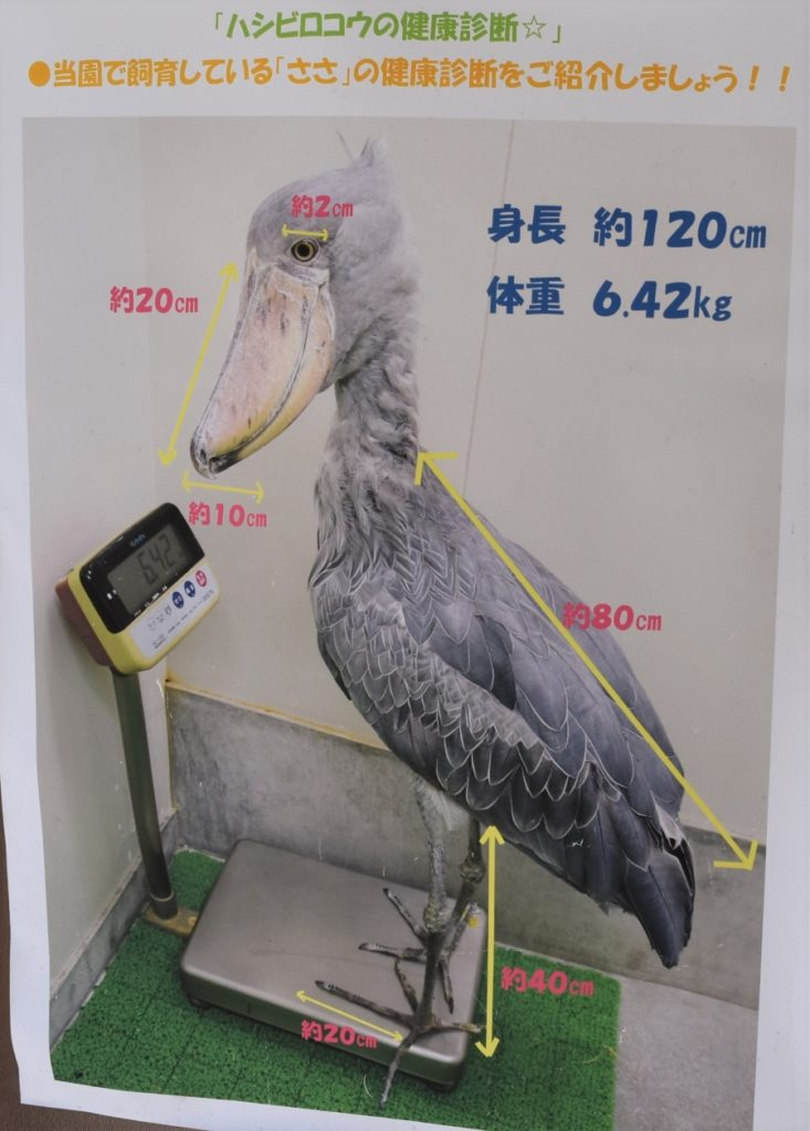 飼育員さんの誘導で上手に体重計に乗るハシビロコウの写真です。このおさまりのいい感じがかわいい!