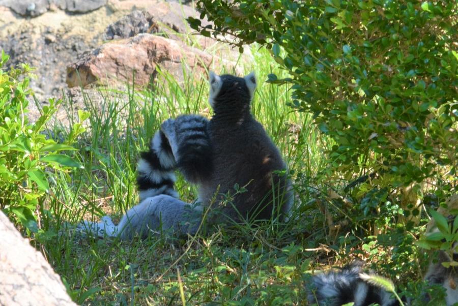 自分の尻尾を担ぐワオキツネザル。どこを見て何を考えているのやら…