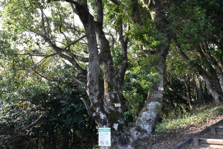 クスノキとヤマモモが一緒になった木。同じ場所に種をまいたそうです