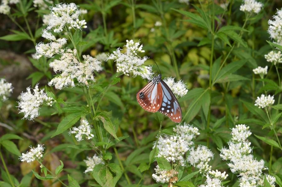 アサギマダラ。10 月中旬から 11 月上旬にかけてよく見られるチョウです