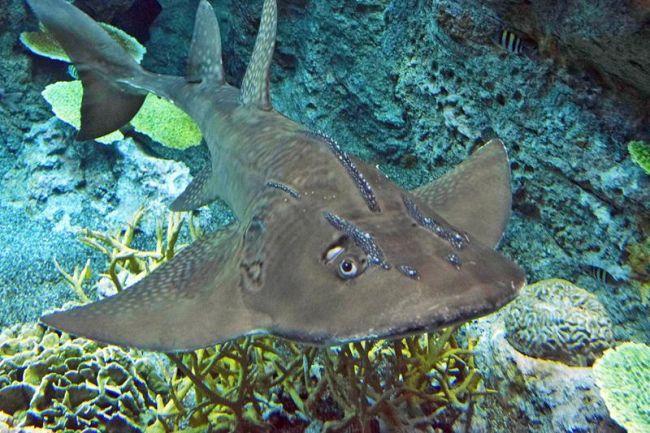 今年7月、開館を控えた足摺海洋館「SATOUMI」で泳ぐシノノメサカタザメ(土佐清水市三崎)