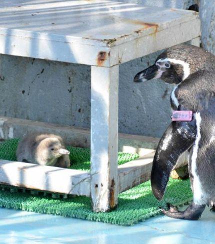 クオより一回り大きい(左)生後約2週間のフンボルトペンギンの赤ちゃん。体は灰色の羽毛に包まれ、もふっと柔らかいという(高知市の桂浜水族館)