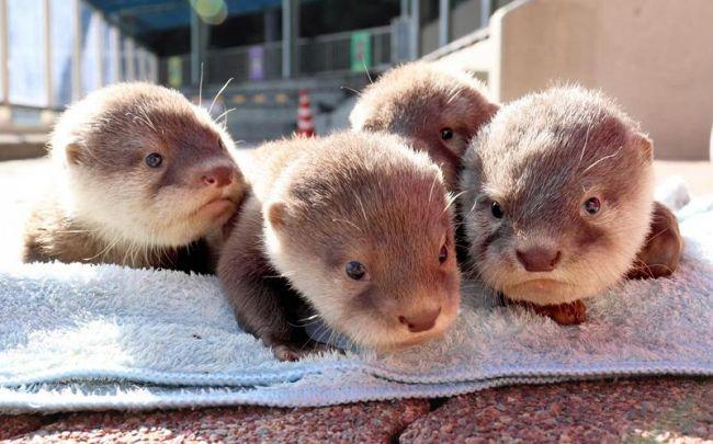 すくすく成長している4匹のコツメカワウソ(桂浜水族館提供)