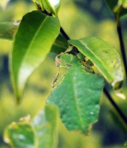 食べかけの葉になりきっているオオコノハムシ