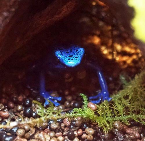 「熱帯雨林の宝石」と呼ばれるコバルトブルーヤドクガエル。美しい見た目は猛毒の証し
