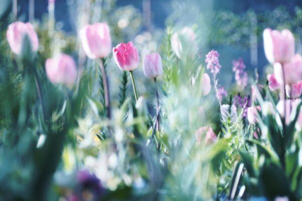 春を彩る3万本のチューリップ|北川村「モネの庭」で「チューリップ、チューリップ」