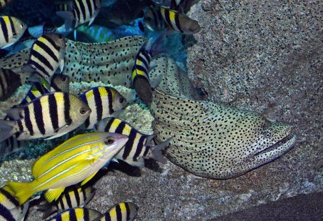 足摺海洋館「SATOUMI」に仲間入りした巨大なニセゴイシウツボ(土佐清水市三崎)
