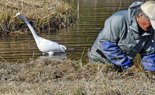 杉村光俊さんの背後に忍び寄るシラサギ。バケツのザリガニや跳び出す魚を、静かに狙っている(四万十市のトンボ自然公園)