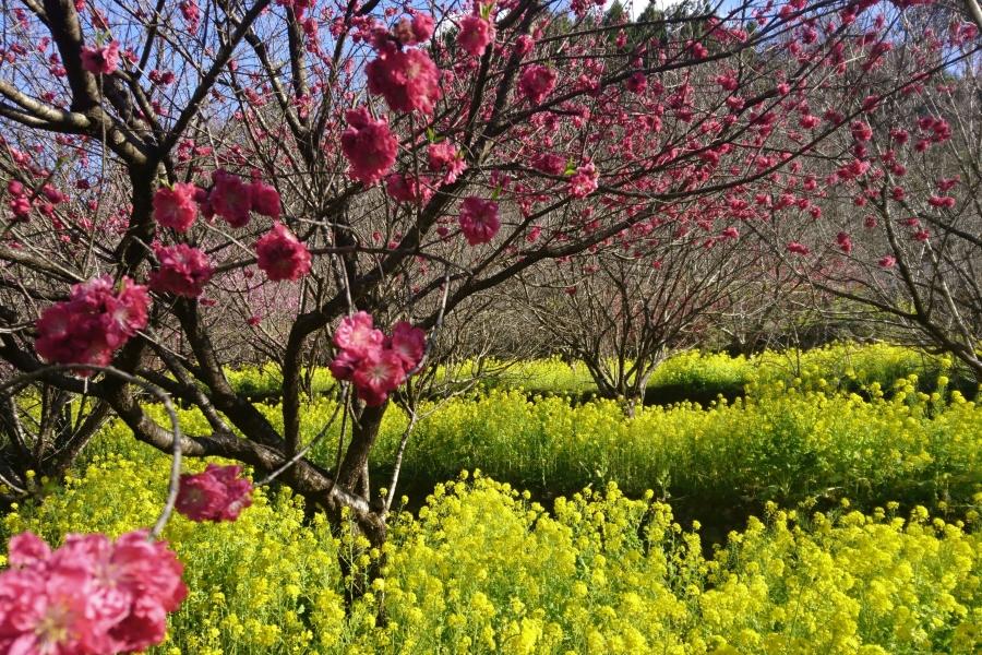 住民が手入れした春の花が開花|香南市で「西川花祭り」