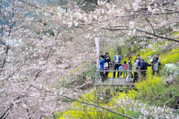 手作りの会場に春の花が満開|大川村で「第8回 大川村さくら祭 しばざくら祭」