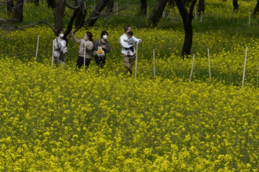 菜の花1000万本が見頃です 四万十市で「四万十川花紀行 菜の花まつり」