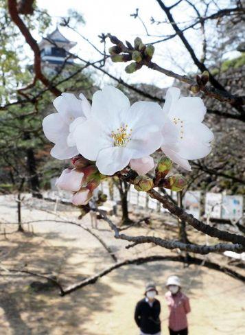 淡いピンクのつぼみが開いたソメイヨシノ(高知城)