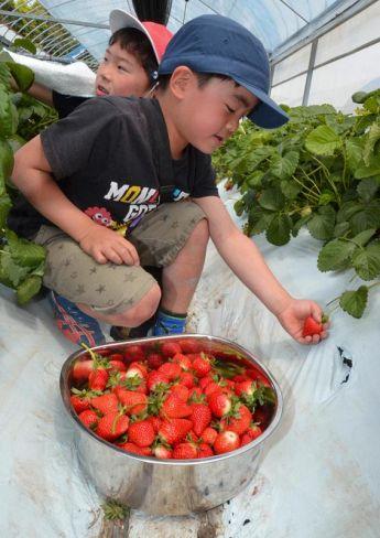 はしゃぎながらイチゴを収穫する南郷小学校の児童(黒潮町加持)