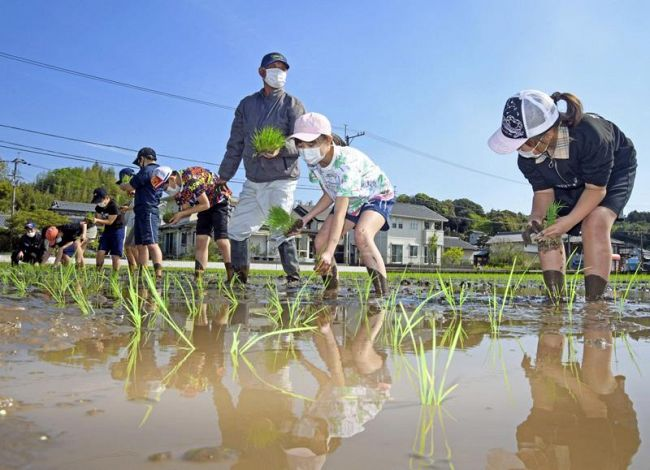 農家に教わりながら「伝統米」の苗を植えていく国府小学校の児童ら(南国市国分)