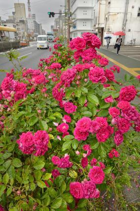 梅雨空の下で、真っ赤なバラが輝いた(高知市升形)