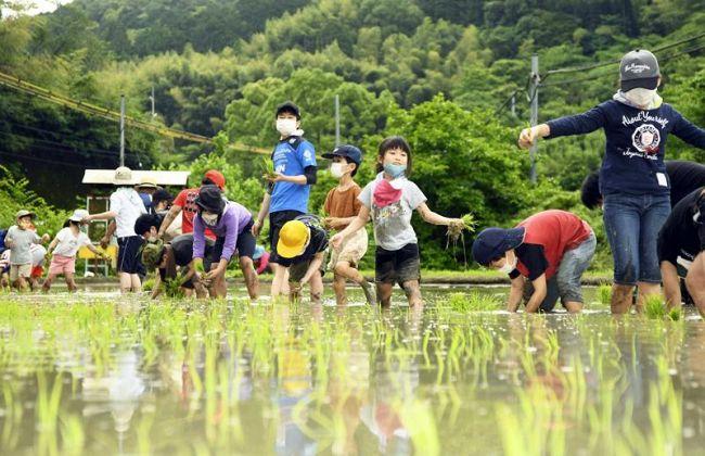 素足で田んぼに入り、苗を手植えする児童ら(南国市白木谷)