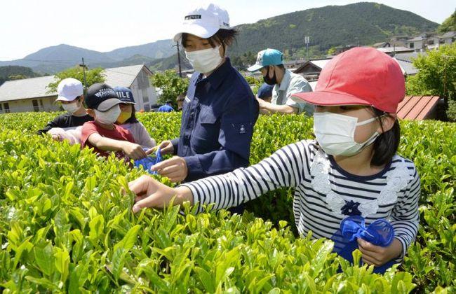 窪川高生と茶摘みを楽しむ児童(四万十町北琴平町)