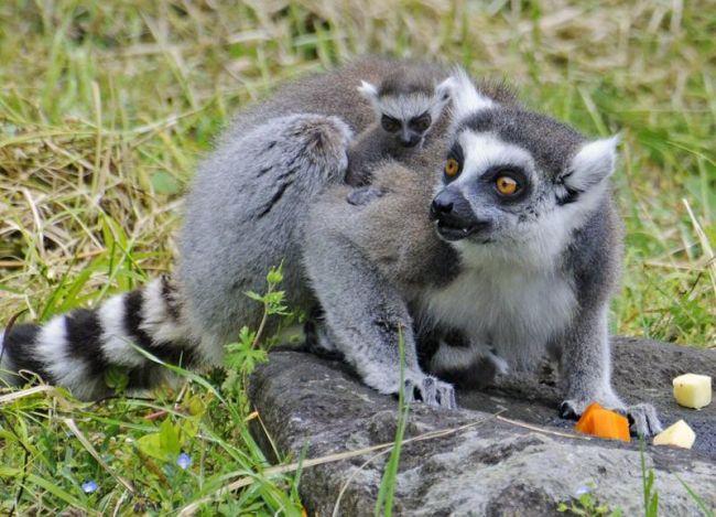 母親のニイナにしがみつくワオキツネザルの赤ちゃん(香南市の県立のいち動物公園=同園提供)