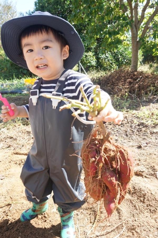 はじめての芋掘り。おぉ、力持ち!帽子もお似合いです
