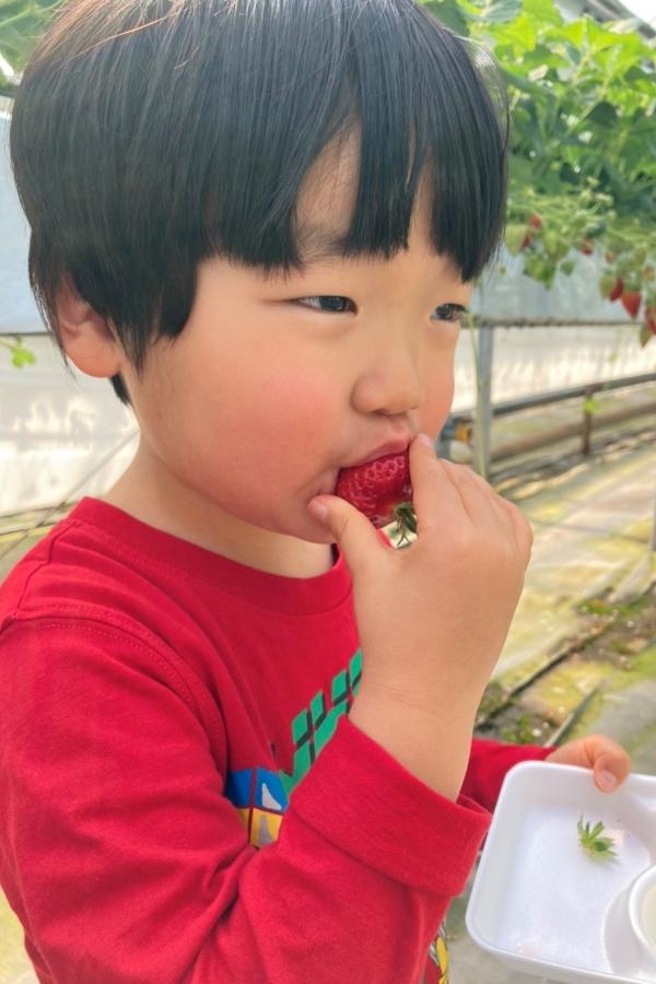 はじめてのイチゴ狩り。赤い服で、赤いイチゴをパクッ