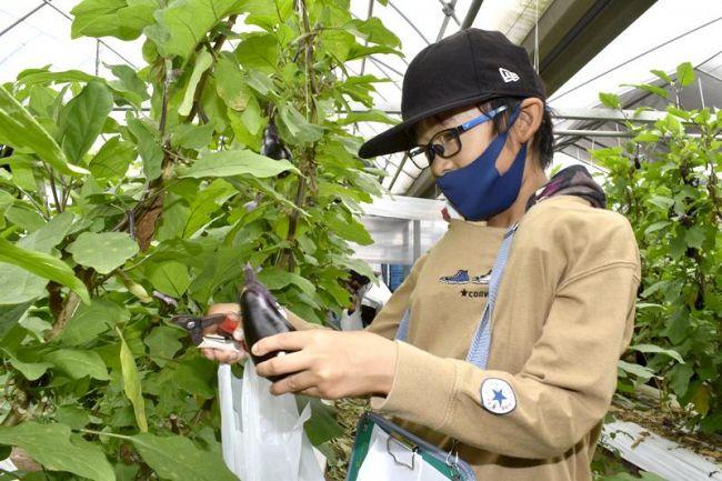 ナスの収穫を体験する井ノ口小学校の児童(安芸市井ノ口乙)