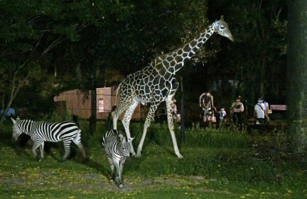 夜の動物園へようこそ!高知県立のいち動物公園「のいち de ナイト」に3300人
