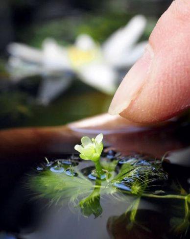 指先より小さな花を咲かせたムジナモ(高知市の県立牧野植物園)