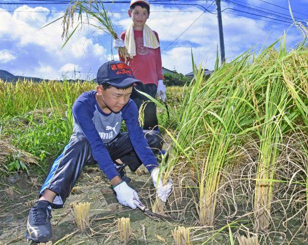 鎌で稲を刈る子どもたち(室戸市吉良川町甲)