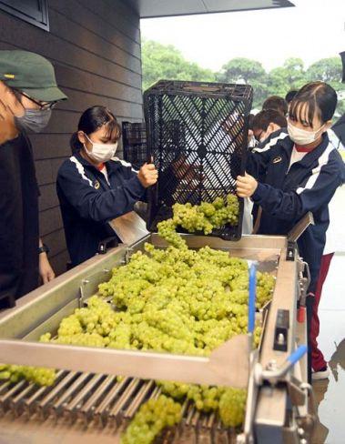 収穫したブドウを選果台に投入する山田高生たち(香南市の「のいち醸造所」)