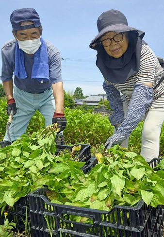 藍の葉を収穫する依光文雄さんと洋子さん(写真はいずれも香美市土佐山田町楠目)