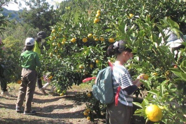 高知市工石山青少年の家で「秋の鏡川源流とゆず収穫体験」 登山の後はユズ収穫!自然を満喫できる1日です