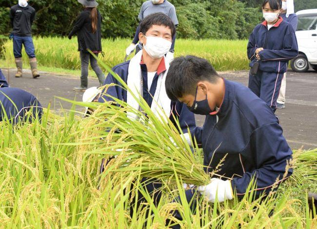 酒米を収穫する地元の子どもたち(四万十市大用)