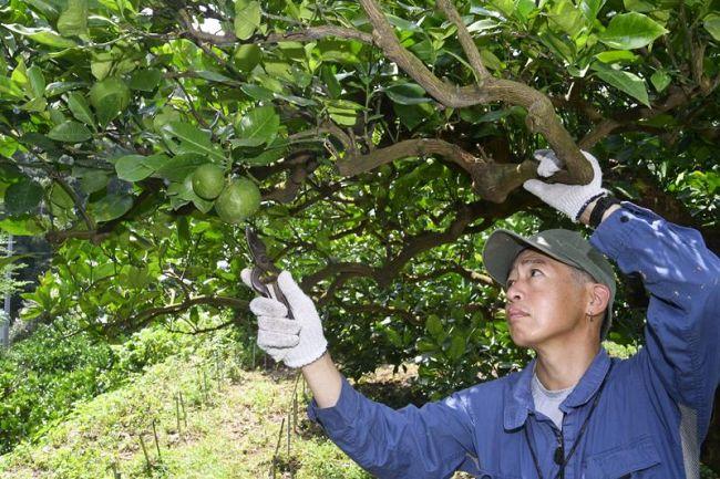 寒波の影響で果実が少ない土佐ブンタン畑(土佐市甲原)