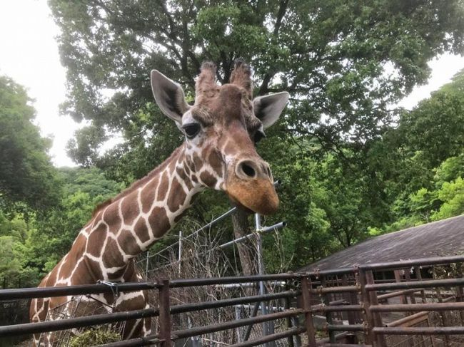 24歳で死んだアミメキリンのジャネット(県立のいち動物公園提供)