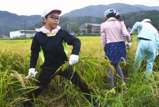 鎌で元気よく稲を刈る児童(室戸市佐喜浜町)